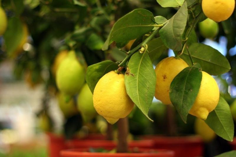 6 необычных сортов лимона для выращивания на подоконнике
