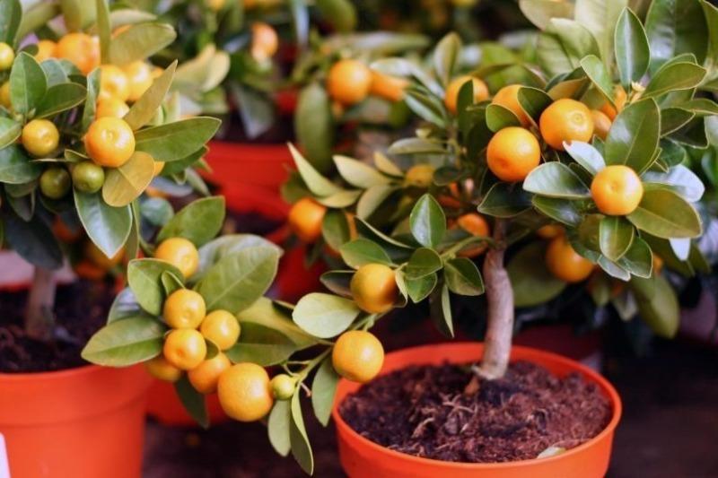 8 карликовых сортов мандарина для малогабаритных квартир