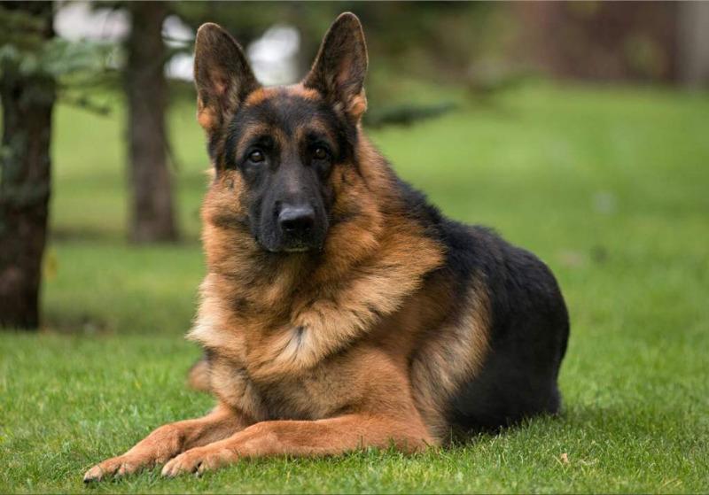 10 лучших пород собак для частного дома