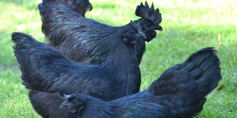 6 курочек, которые несут разноцветные яйца