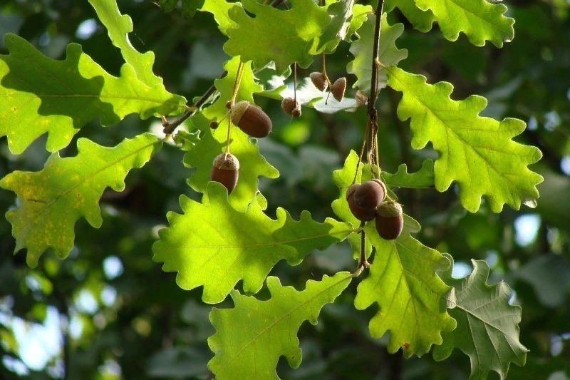 говорил, фото с дубовыми листьями своей группе для