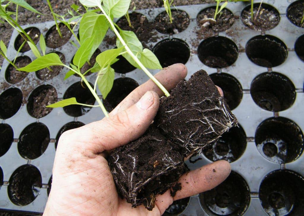 Как я сажаю рассаду, чтобы при пересадке в грунт не повредить ее корни