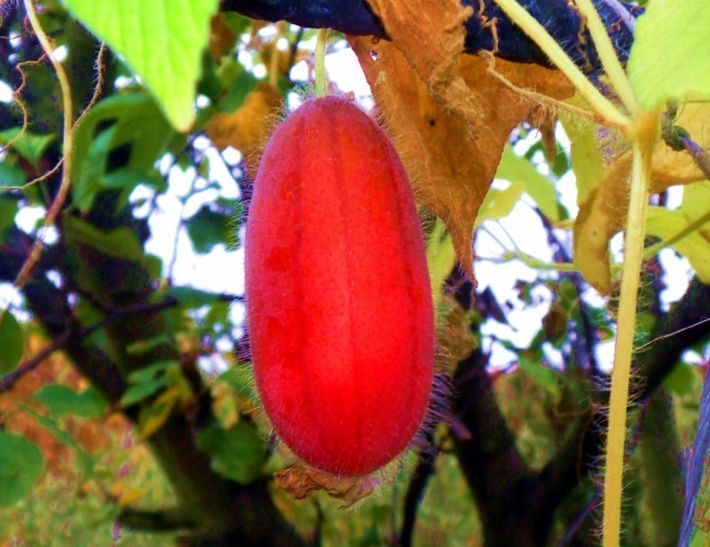 Диковинные овощи: 10 экзотических сортов огурцов для теплиц и открытого грунта