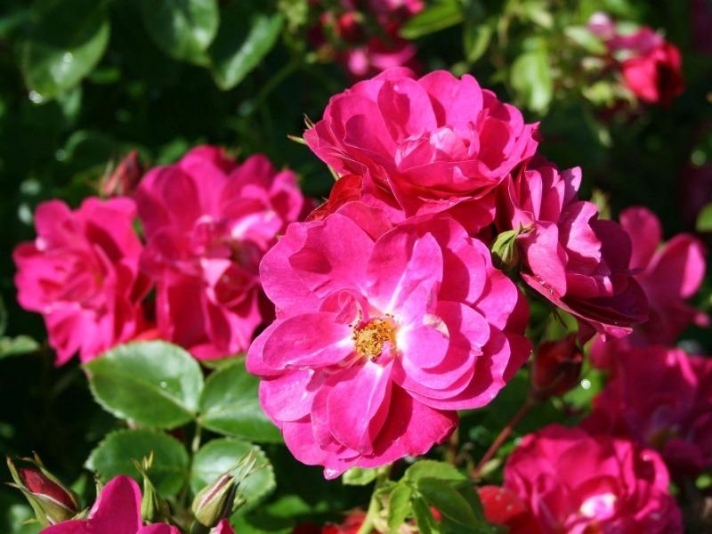 Им и холод нипочем: 10 сортов роз, которые не боятся морозов