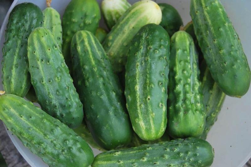10 морозоустойчивых сортов огурцов, которые можно выращивать без рассады